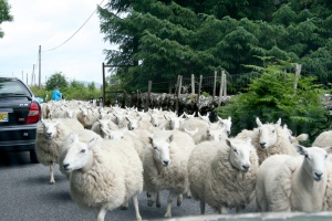 Sheep2 (herd)